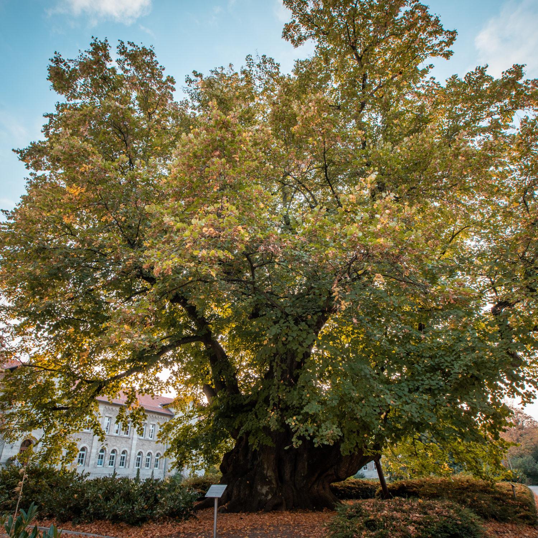 Kaiser Lothar Linde - einer der ältesten Bäume Deutschlands.
